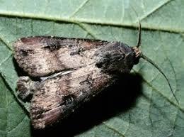 Black Cutworm Identification
