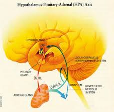 The Hypothalamic Pituitary Adrenal Axis Is The Bodys M Open I