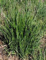 Alopecurus pratensis - Michigan Flora