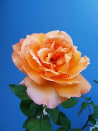 hd rose flower. Exellent Rose Closeup Of Orange Petaled Flower Throughout Hd Rose Flower