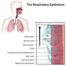 Classification Of Covering And Lining Membranes Complete The Following Chart Respiratory Epithelium Wikipedia