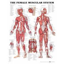 The Female Muscular System Anatomical Chart Poster Paper
