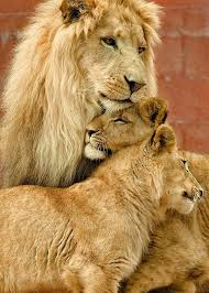 lion and lioness the royal couple at