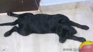 3 months old lab puppy hyderabad