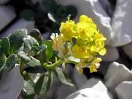Alyssum wulfenianum Bernh.