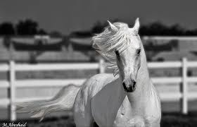 horses wallpaper black and white. Perfect Wallpaper White Horses Wallpaper WK61WK Desktop Images Of Horses 18102013  By Duncan Martineau  Throughout Black And I