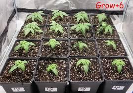 Cannabis Plant Growth Chart Growing Regular Cannabis Seeds Indoors Alchimia Blog