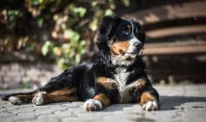How Much Do Bernese Mountain Dogs Cost Goldenacresdogs Com