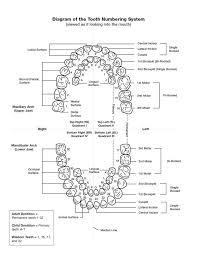 Tooth Diagram Chart Wiring Diagram General Helper
