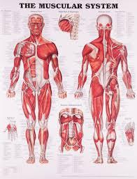Anatomical Muscle Chart Pdf Www Bedowntowndaytona Com