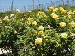 el paso munil rose garden several yellow roses bushes which are so bright