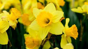 Narciso: descripción y cuidados - Jardinatis