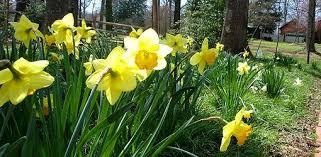 Spring Bulb Planting Depths Todays Homeowner