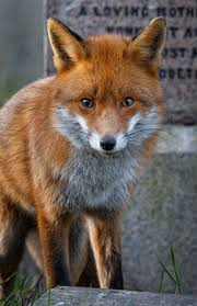 60 best images about Fox Photography on Pinterest