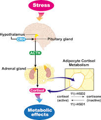 Hypothalamic Pituitary Adrenal Axis Dysregulation And Cortisol