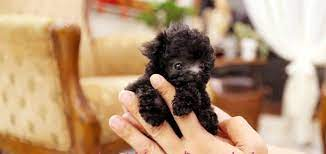 toy teacup poodle best
