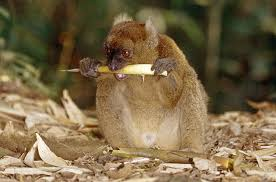 animals facing extinction photo essays time endangered mammals greater bamboo lemur