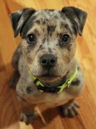 Catahoula Growth Chart Catahoula Mix Puppies For Sale Goldenacresdogs Com