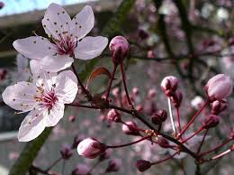 flower tree pictures. Beautiful Flower Cherry Tree Flower Blossom 2 By EnchantedgalStock In Pictures