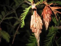 Bagworm Control How To Get Rid Of Bagworms
