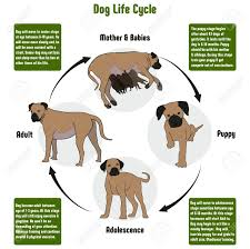 dog chart dog life cycle diagram with all stages including birth mother