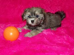 morkie golden colored