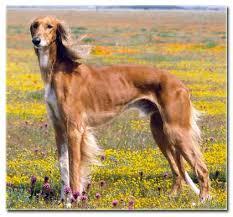 saluki dog. brown saluki dog