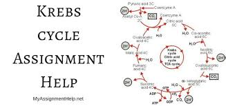 krebs cycle assignment help biology assignment help krebs cycle assignment help
