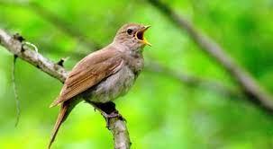 Gambar tersebut bisa anda download langsung, caranya silahkan klik. Download Suara Burung Flamboyan Gacor Isian Mp3 Harga