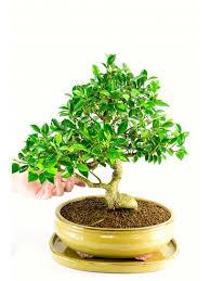 office bonsai tree. Specimen Ficus Indoor Bonsai For Sale Office Tree