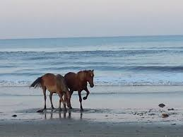 beautiful wild horses on the beach. Wild Horse Adventure Tours Beautiful Horses Throughout On The Beach