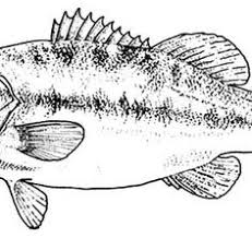 Small Picture Bass Fish Sketch of Bass Fish Coloring Pages Fish Pinterest