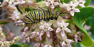 Image result for image of Idaho monarchs cantepillar