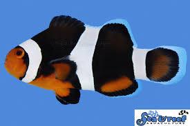 black phantom clownfish. Contemporary Clownfish Black Photon Clownfish In Phantom