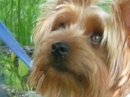 silky dog. rufus silky dog