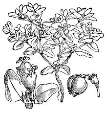 Euphorbia peplis – Wikipedia
