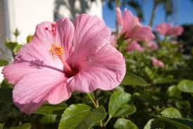 hibiscus flowers do you deadhead a hibiscus home guides sf gate