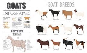Goat Breeds Infographic Template Animal Farming Flat Design