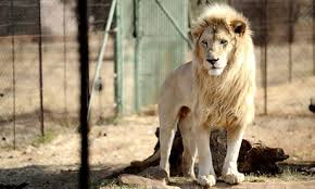 canned hunting the lions bred for slaughter environment the   canned hunting the lions bred for slaughter environment the guardian