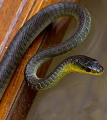 Queensland Snakes Identification Chart Tree Snake Or Common Tree Snake Advice Capture Removal