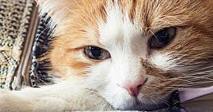 The Facts On Cat Fever Care Com