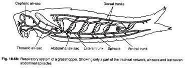 essay on grasshopper respiratory system of a grasshopper
