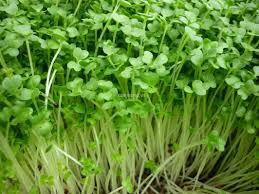 Hướng dẫn chọn hạt giống và kỹ thuật trồng rau mầm tại nhà