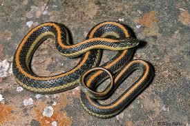 thamnophis atratus hydrophilus diablo range gartersnake thamnophis atratus zaxanthus gartersnake gartersnake gartersnake sierra garter snake