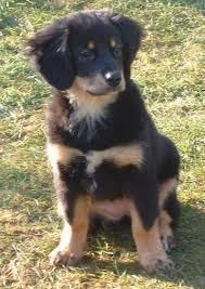 bernese mountain dog mix. Modren Mix With Bernese Mountain Dog Mix A