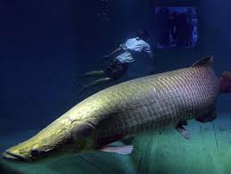 giant amazon river fish.  Amazon On Giant Amazon River Fish National Geographic