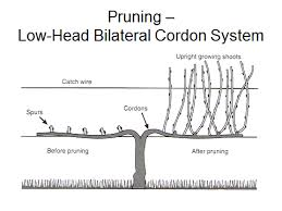 Basic Considerations For Pruning Grapevines Grapes