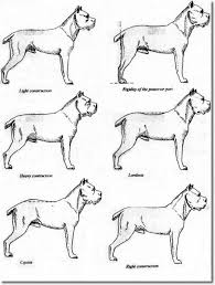 Cane Corso Growth Chart Goldenacresdogs Com