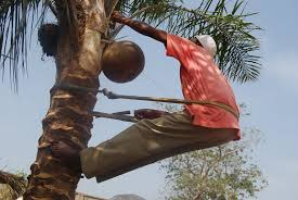Image result for palm wine farming