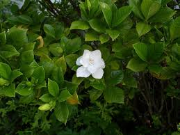 gardeniagardenia